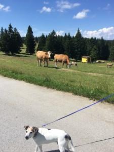 Auch Kühe gibt es zu bestaunen